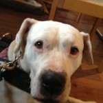 Dogo-Hündin beim Hundetrainer