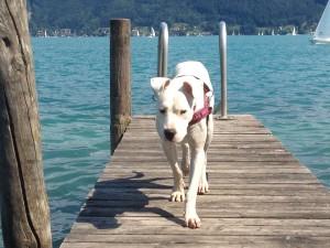 tauber Hund in Ausbildung