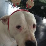 leinenlos hündin zu weihnachten 3