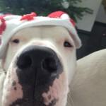 leinenlos rüde zu weihnachten